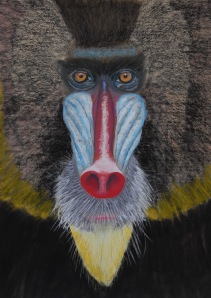 mandrill apr 2014_cropped Jim Peacher