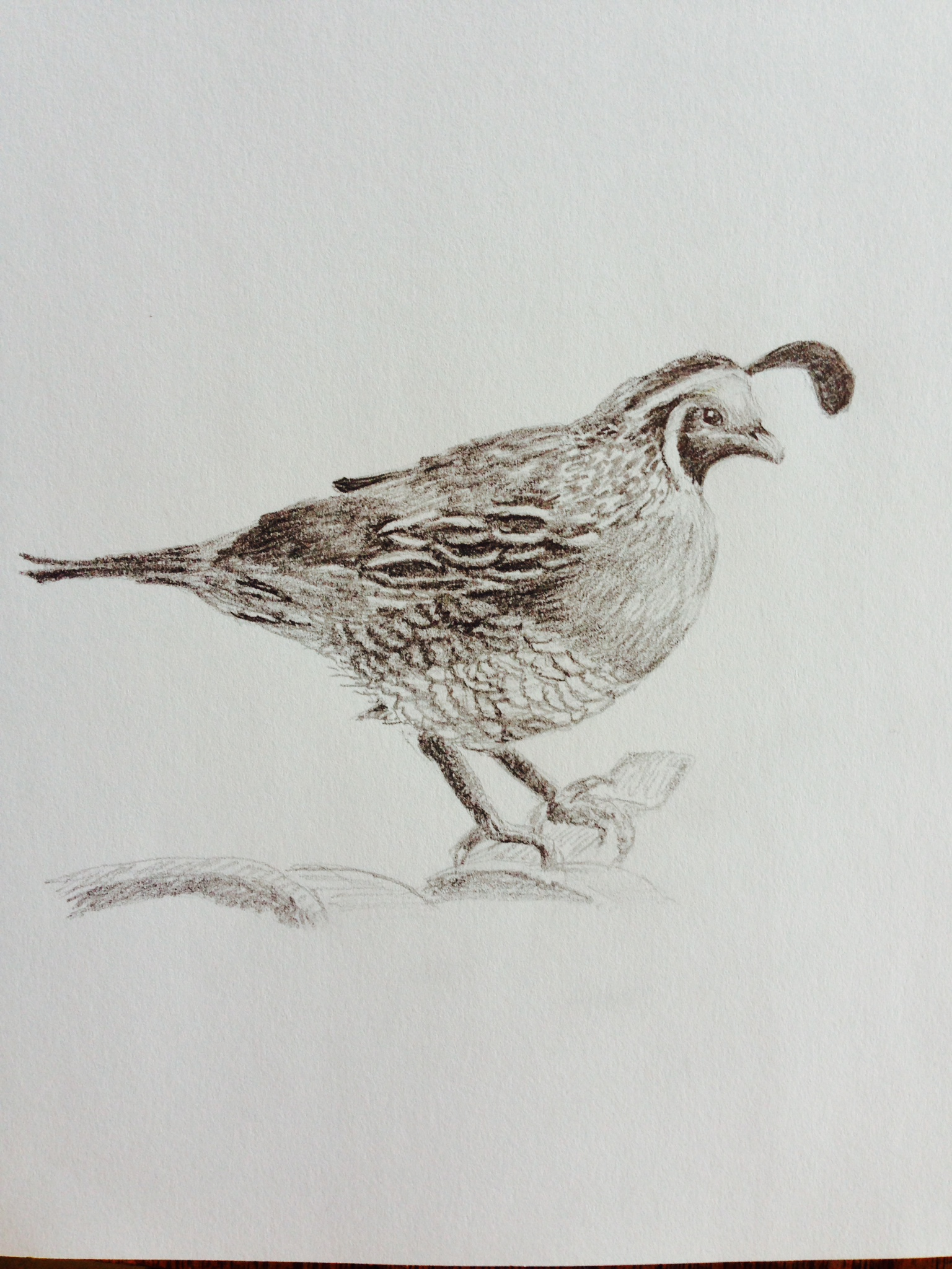 Line Drawing Quail : Quail drawings related keywords long tail