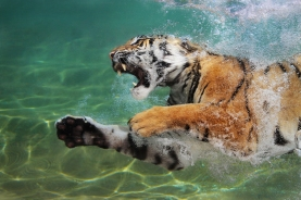 Aquatic Tiger