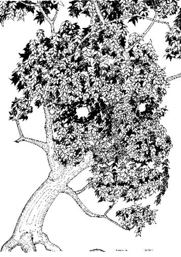 lightfoot-tree-rapidograph-indiaink