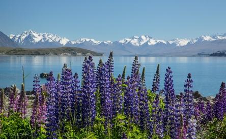 Lake Tekapo and Lupines-Cheryl Strahl
